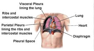 human chest muscles