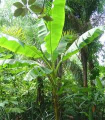 ice cream banana tree