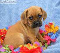 toy puggles for sale
