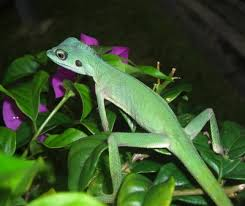 crested lizards