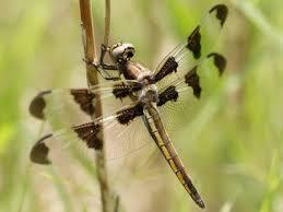 dragonfly skimmer