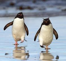 pictures of rockhopper penguins