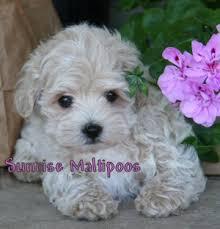 puppy maltipoo