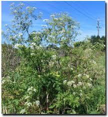 hemlock plant