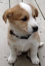 mix breed puppies