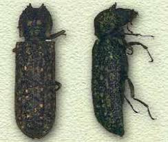 false powder post beetle