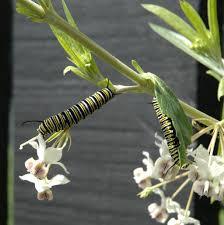 caterpillars butterfly