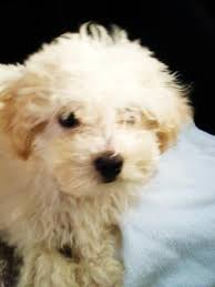 maltese mix puppies