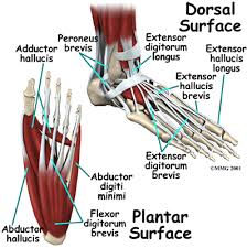 muscles in the feet
