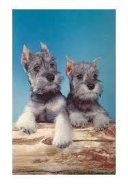 pictures of schnauzer puppies
