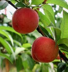 peach tree photo
