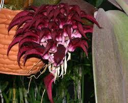 bulbophyllum fletcherianum
