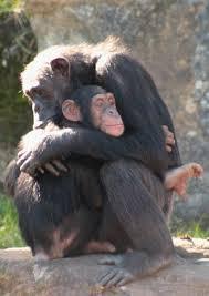 chimpanzees communication