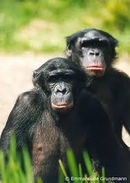 bonobo primates