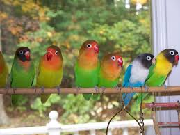 lovebird aviary