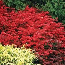 fire bush shrub