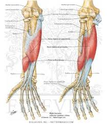 forearm flexor muscles