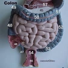 intestine model