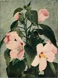 mallow hibiscus