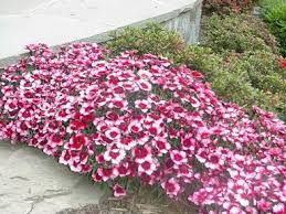 dianthus plant