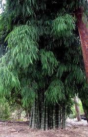 bambusa bamboos