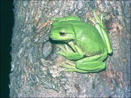 green tree frog photos