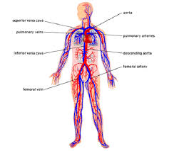 human body cells pictures