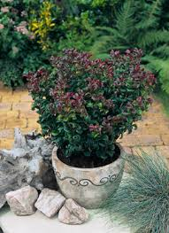 Leucothoe axillaris 'Curly Red' /