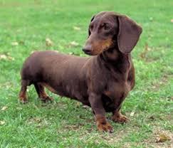 akc dachshund puppies