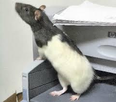 fancy rat
