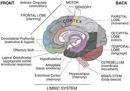 labeled brain model