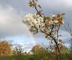 nashi pear trees
