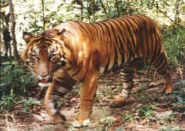 african tiger pictures