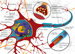 neurons cell
