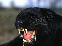 endangered black panthers