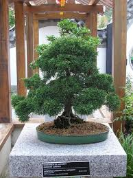 old bonsai trees