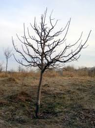 Dormant Apple Tree