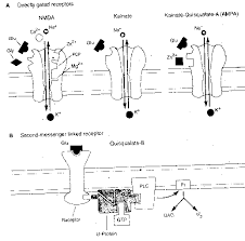 glutamate receptor