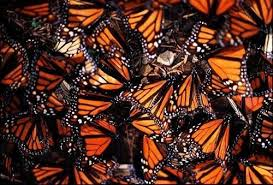 monarch butterfly in mexico