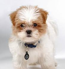 maltese mixed dogs