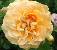 buff beauty rose
