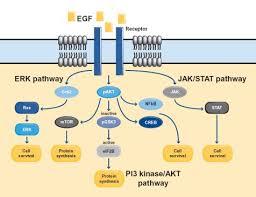 pi 3 kinase pathway