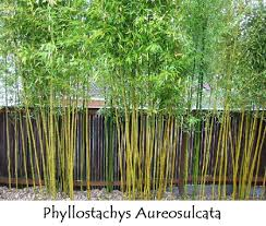 bamboos plants