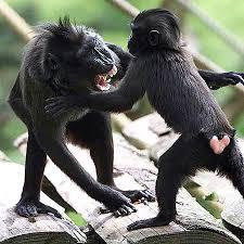 endangered monkey species