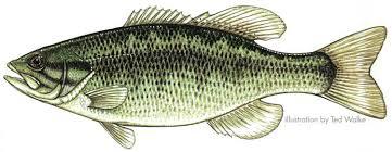 bass species