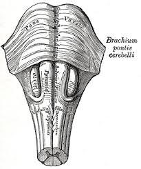medulla oblonga