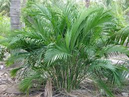 cat palm trees