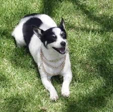 box terrier