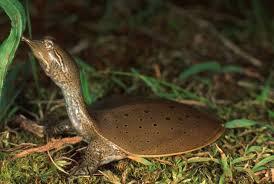 mud turtles as pets