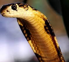 reptile cobra